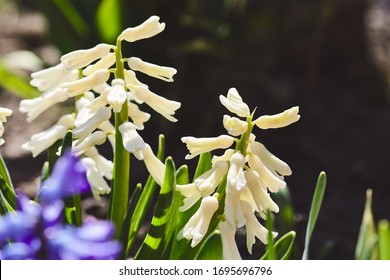 Spring white hyacinth. Blooming flower on flowerbed. Gardening floriculture. Sunny warm day in garden.