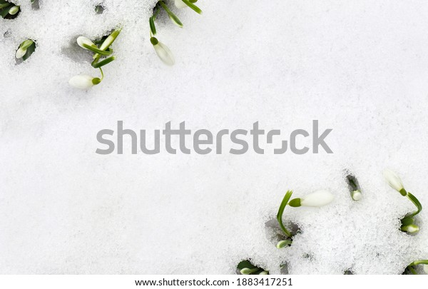 Spring white snowdrops ( Galanthus nivalis ) in snow in the forest with space for text. Top view