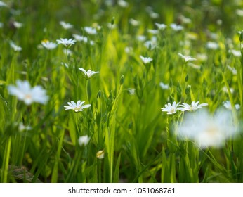 Lawn with white flowers images stock photos vectors shutterstock spring white wild flowers and grass on the sun mightylinksfo