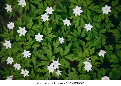 Spring wild flower background, Anemone nemerosa or white wood anemone is one of the first flowers of the year.