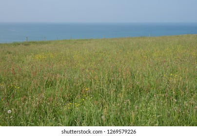 Spring Wild Flower Meadow of Common Sorrel (Rumex acetosa), Buttercups (Ranunculus acris) and Long Grasses with a Blue Sky Background on the South West Coast Path in Rural Cornwall, England, UK