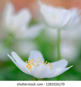 Spring wild flower, wood anemone nemerosa. A beautiful white wildflower shot in soft focus with shallow DOF.