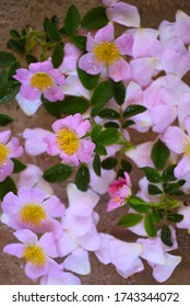 Spring wild rose flowers with water drops on petals, floral background