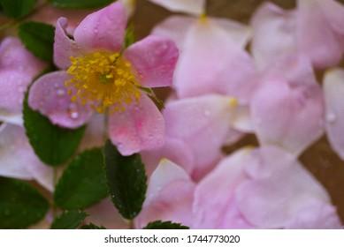 Frühlingsblumen mit Wassertropfen auf Blütenblättern, Blumenhintergrund