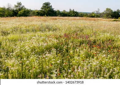 Spring wildflower field. Native flowers, prairie reserve. Fort Worth, Texas.