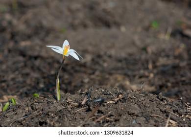 Spring wildflower shafrron (Crocus reticulatus)