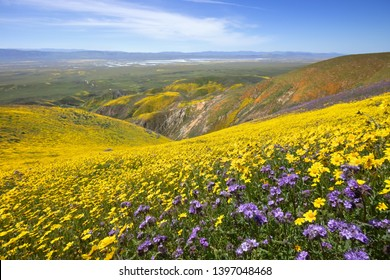 Spring wildflower in Tembor Range, Carrizo Plain National Monument, CA
