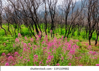 Spring wildflowers and ferns emerge from a burnt out forest in the hills of the Campania region of southern Italy, at the base of Mount Vesuvius.