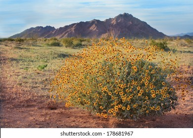 Spring Wildflowers in Sonora Pinacate Desert Sunset