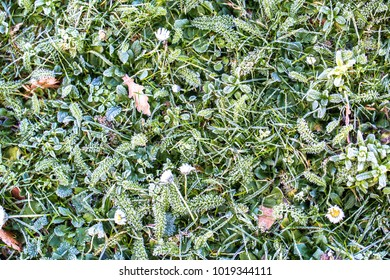 Spring or winter grass and floral background. Rime and snow on the green grass and flowers daisies on a sunny day. Early spring background.