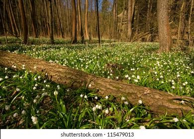 spring wood full of spring snowflakes - Leucojum vernum