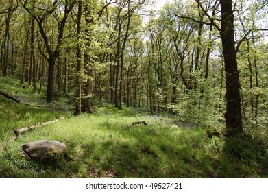 A spring woodland scene in Queen Elizabeth Forest Park, Aberfoyle, Scotland