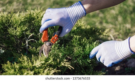 Spring work in the garden. Gardener cuts dry branches of thuja, selective focus. Pruning bushes. Cutting Branches at spring. Close up hand of person holding scissors/secateur. Garden work in village.