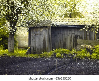 Spring work in the garden. Old barn and flowering trees in the garden.