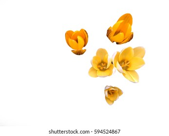 Spring Yellow crocus flowers isolate on white texture background  in Spring Season
