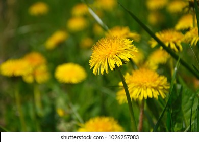 Spring yellow dandelion against the background of grass and other dandelions