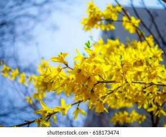 Spring Yellow Flowers, Korean Forsythia, as Blurred Background