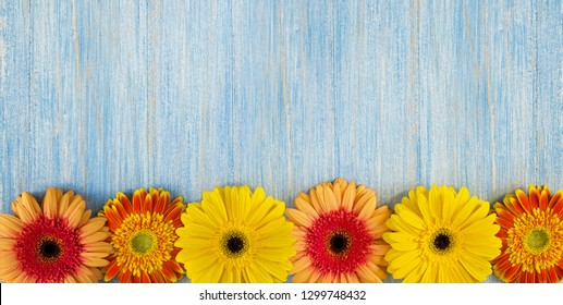 Spring yellow, pink and red gerbera flowers on blue wooden table background. Copy space and wide panoramic frame