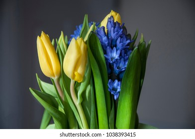 Spring yellow-blue bouquet of yellow tulips and blue hyacinths
