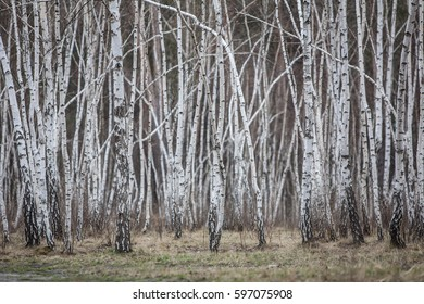 Spring young birch forest in Canada