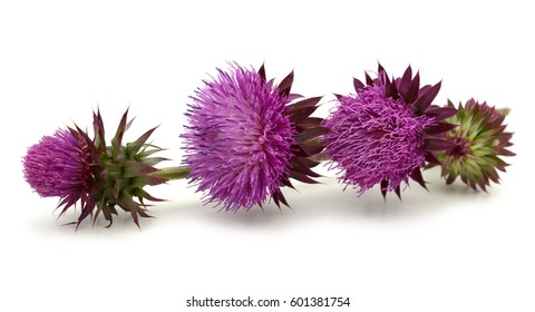 spring young thistle flower