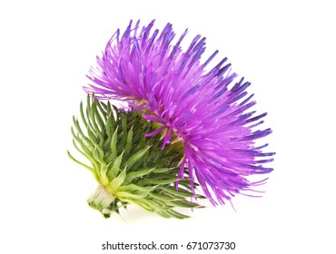 Spring young thistle flower head on a white background