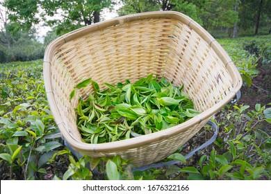 Spring, Yunnan province puer tea garden, in China