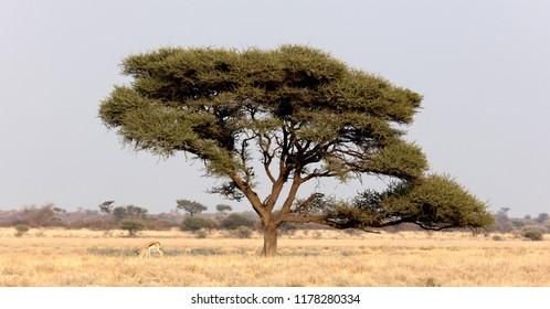 Springbok antelope (Antidorcas marsupialis) under a tree in the Kalahari, Botswana