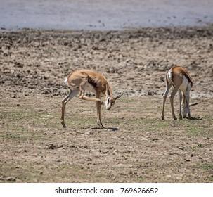 Springbok antelope calf in Southern African savanna