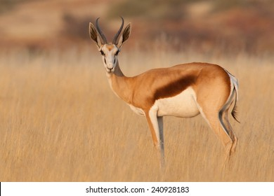 Springbok antelope in long grass at sunset