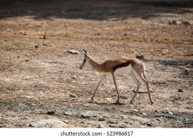 Springbok antelopes in the zoo.(Antidorcas marsupialis)