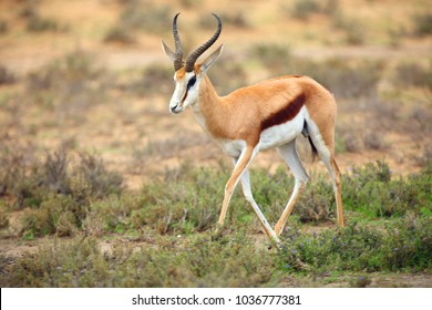 The springbok (Antidorcas marsupialis) adult male in the desert. Antelope on the sand.