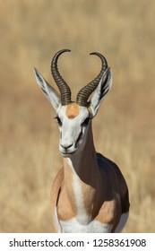 A Springbok (Antidorcas marsupialis) close up, Kalahari desert, South Africa
