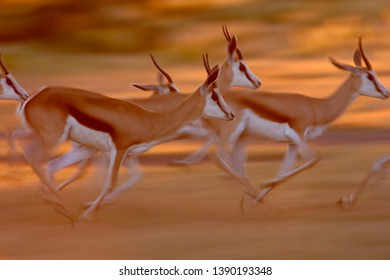 Springbok (Antidorcas marsupialis),  Etosha National Park, Namibia.