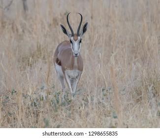 Springbok (Antidorcas marsupialis) - Eyes for You
