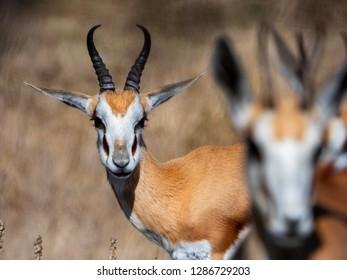 Springbok (Antidorcas marsupialis) in grass