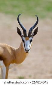 Springbok (Antidorcas marsupialis) head and shoulders, Kalahari Desert, South Africa against blurred natural background