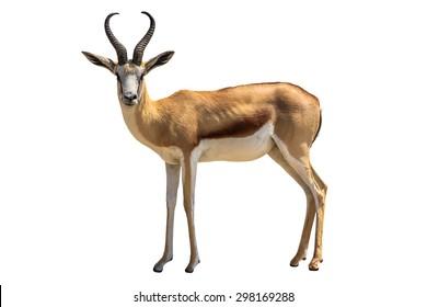 Springbok, Antidorcas marsupialis, isolated on white background.