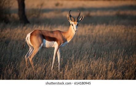 Springbok ( Antidorcas marsupialis) Kgalagadi Transfrontier Park, South Africa