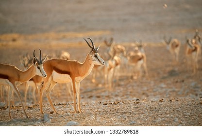 Springbok, Antidorcas marsupialis, medium antelope of dry areas of south and southwestern Africa. Large herd in row, comming to drink  from waterhole. Very hot day in arid Etosha park, Namibia.