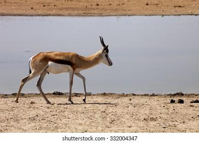 Springbok, Antidorcas marsupialis,  in the Namibian bush