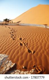 Springbok Footsteps on the Sand