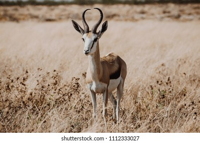Springbok isolated on the yellow, grassy background in Namibia