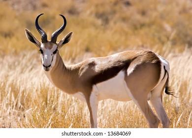 Springbok in Kgalagadi Transfrontier Park
