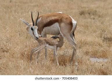 Springbok and Kid