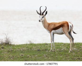 Springbok near the Etosha salt pan