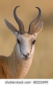 Springbok portrait; antidorcas marsupialis
