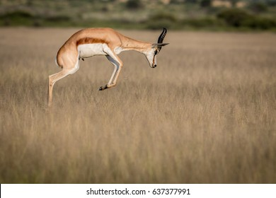 Springbok pronking in the Central Kalahari Game Reserve, Botswana.
