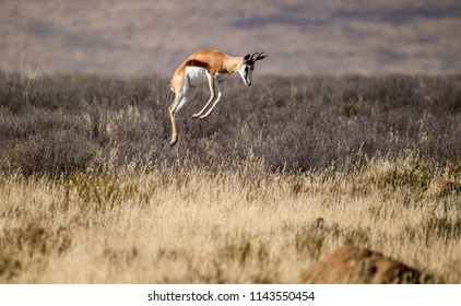 A  Springbok pronking (jumping) photographed against the backdrop of a dry Karoo landscape. Mountain Zebra National Park, South Africa