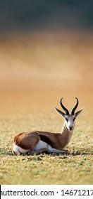 Springbok resting on green grass  - Antidorcas Marsupialis - Kalahari -  South Africa